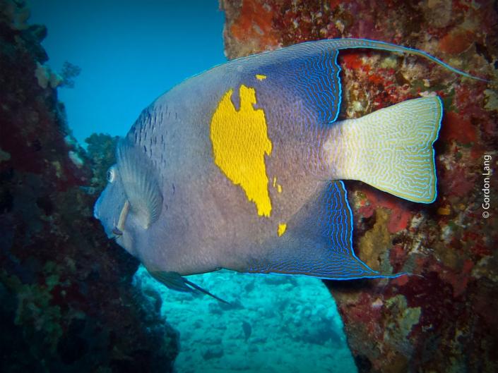 Arabian Angelfish - Pomacanthus asfur