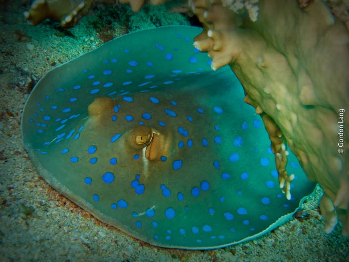 Bluespotted Ribbontail Ray - Neotrygon kuhlii