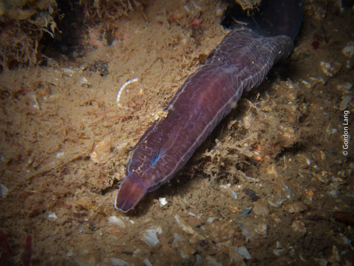 Bootlace Worm - C-Divers - Central Scotland Dive Club