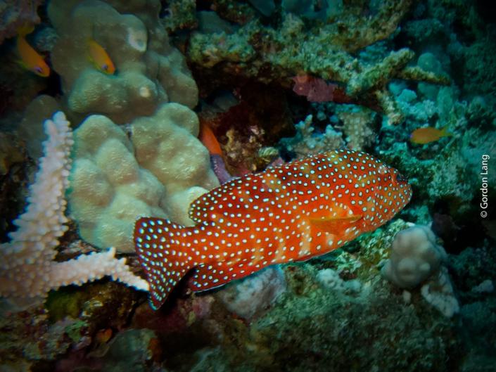 Coral Hind - Cephalopholis miniata