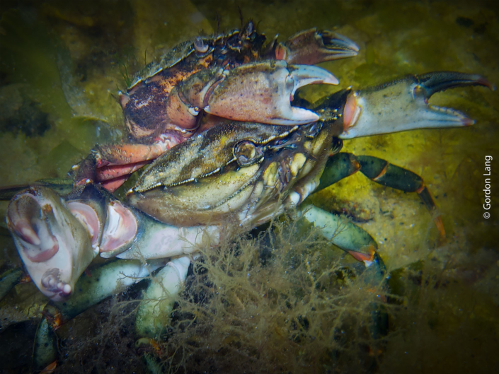 Crabs - C-Divers - Central Scotland Dive Club