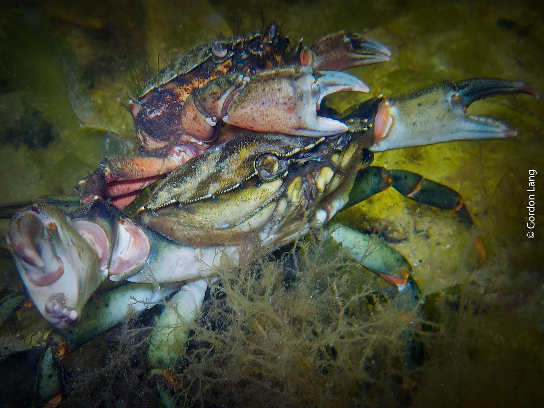 Crabs - C-Divers - Central Scotland Dive Club