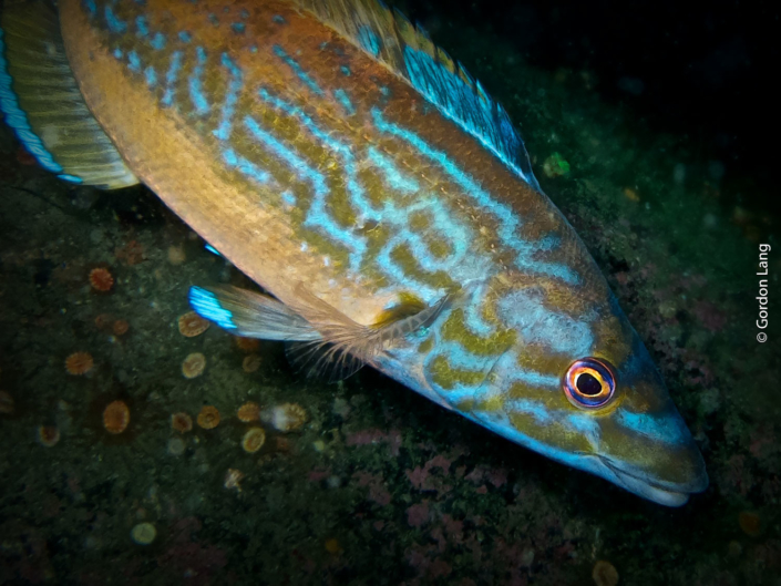 Cuckoo Wrasse - C-Divers - Central Scotland Dive Club