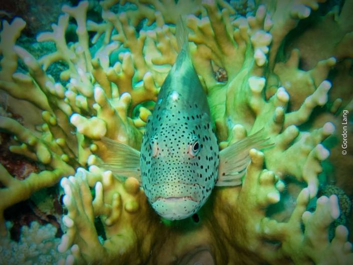 Freckled Hawkfish - Paracirrhites forsteri
