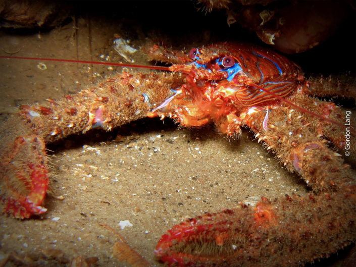 Spiny Squat Lobster - C-Divers - Central Scotland Dive Club