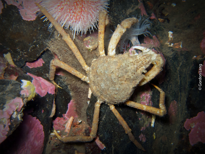 Great Spider Crab - C-Divers - Central Scotland Dive Club