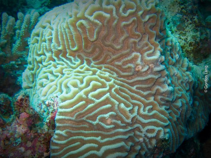 Grooved Brain Coral - Diploria labyrinthiformis