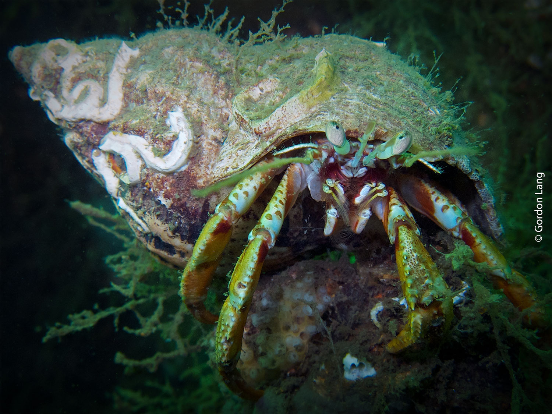Hermit Crab - C-Divers - Central Scotland Dive Club