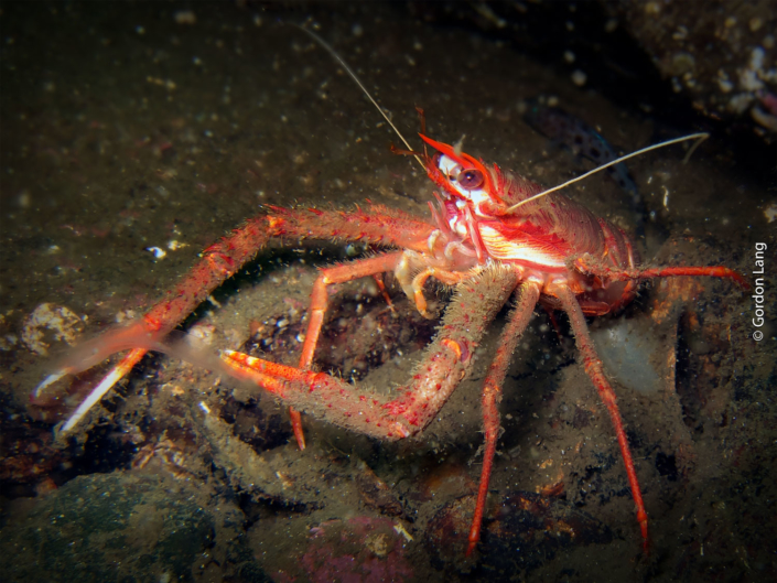 Long-clawed Squat Lobster - C-Divers - Central Scotland Dive Club