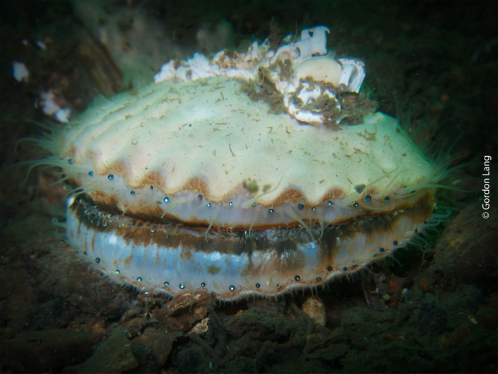 Queen Scallop - C-Divers - Central Scotland Dive Club