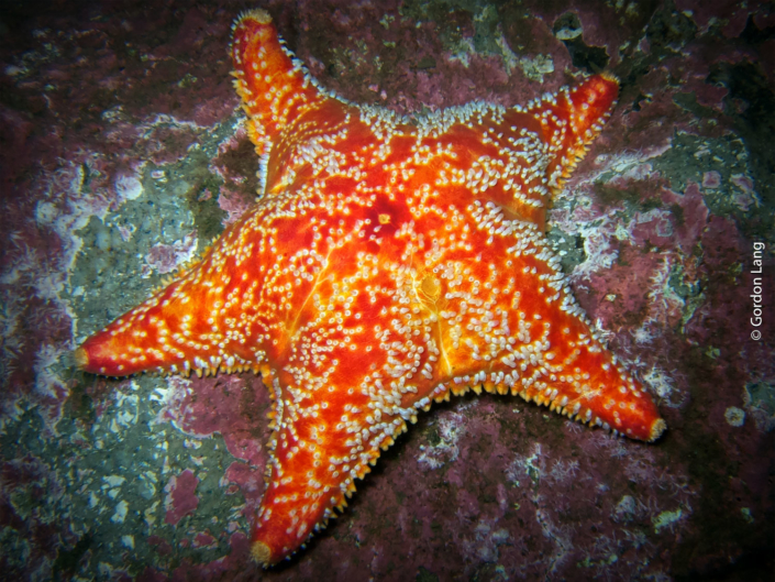 Red Cushion Star - C-Divers - Central Scotland Dive Club