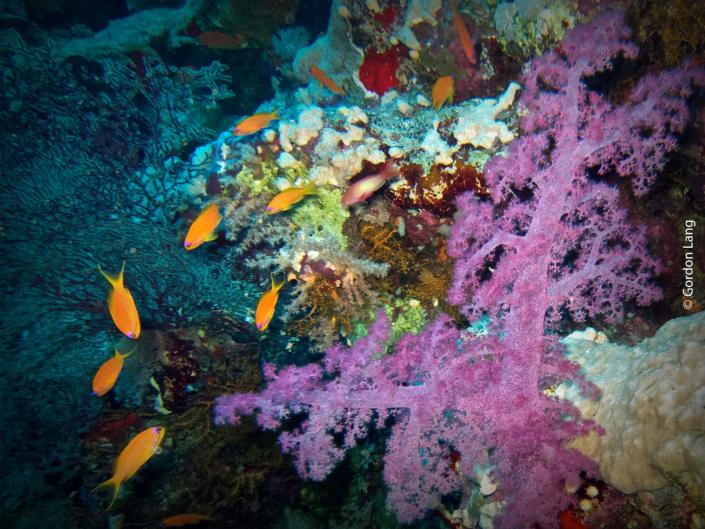 Soft Coral - Dendronephtya hemprichi