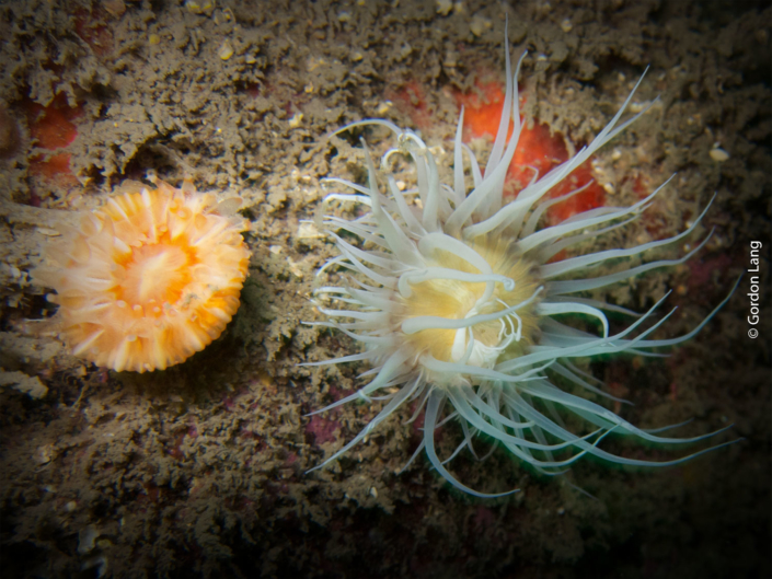 Devonshire Cup Coral and Sea Anemone - C-Divers - Central Scotland Dive Club