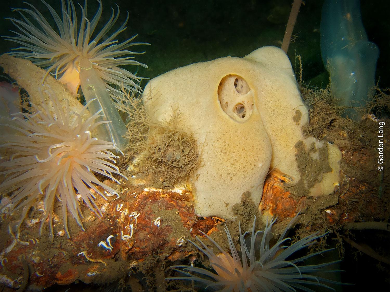 Sea Orange Sponge - C-Divers - Central Scotland Dive Club