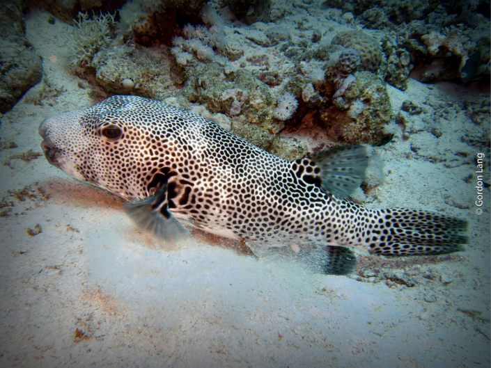 Stellate Pufferfish - Arothron stellatus