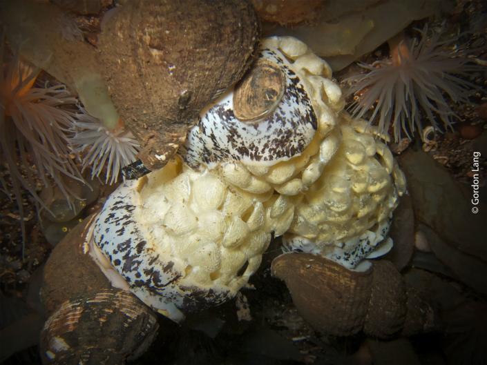Whelks - C-Divers - Central Scotland Dive Club
